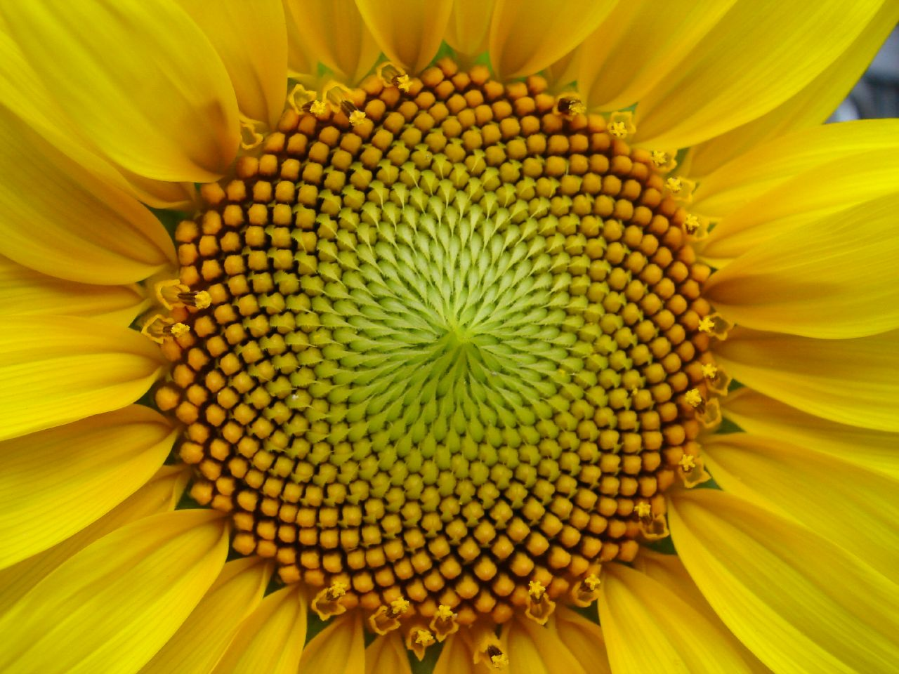 If you follow the Golden Ratio you often get Fibonacci numbers. This sunflower head has 34 disk flower spirals. Patterns such as these can found throughout nature.