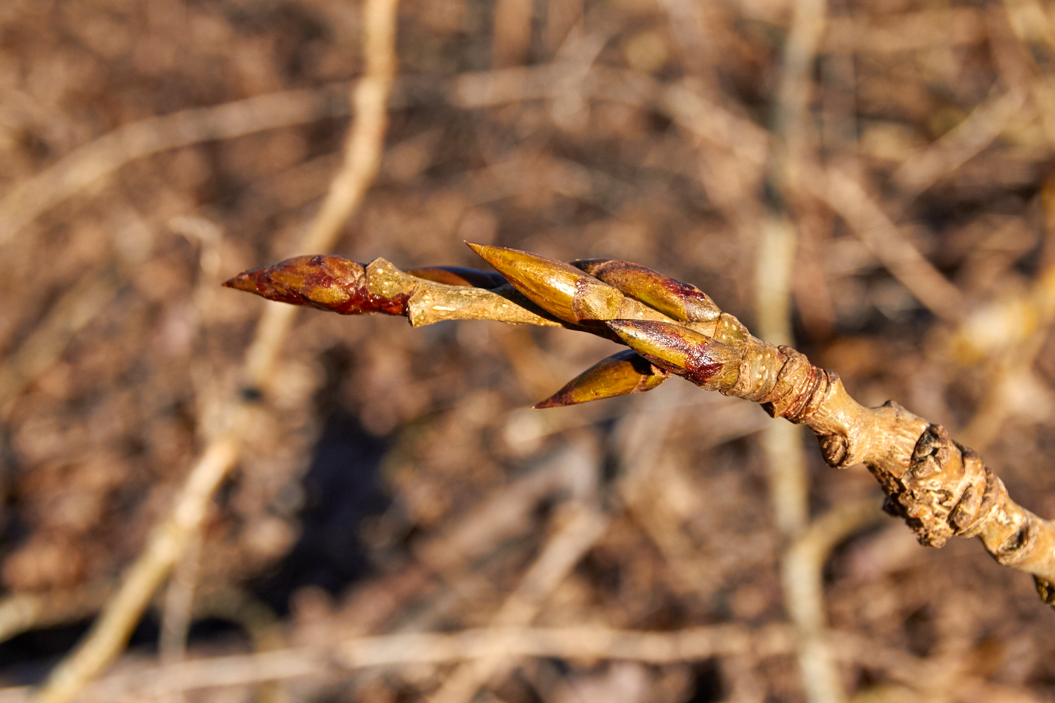 The first scent of the resinous, sweet-smelling buds heralds the arrival of spring and the beginning of the harvest season.© Scott Kloos. 2015. All Rights Reserved.