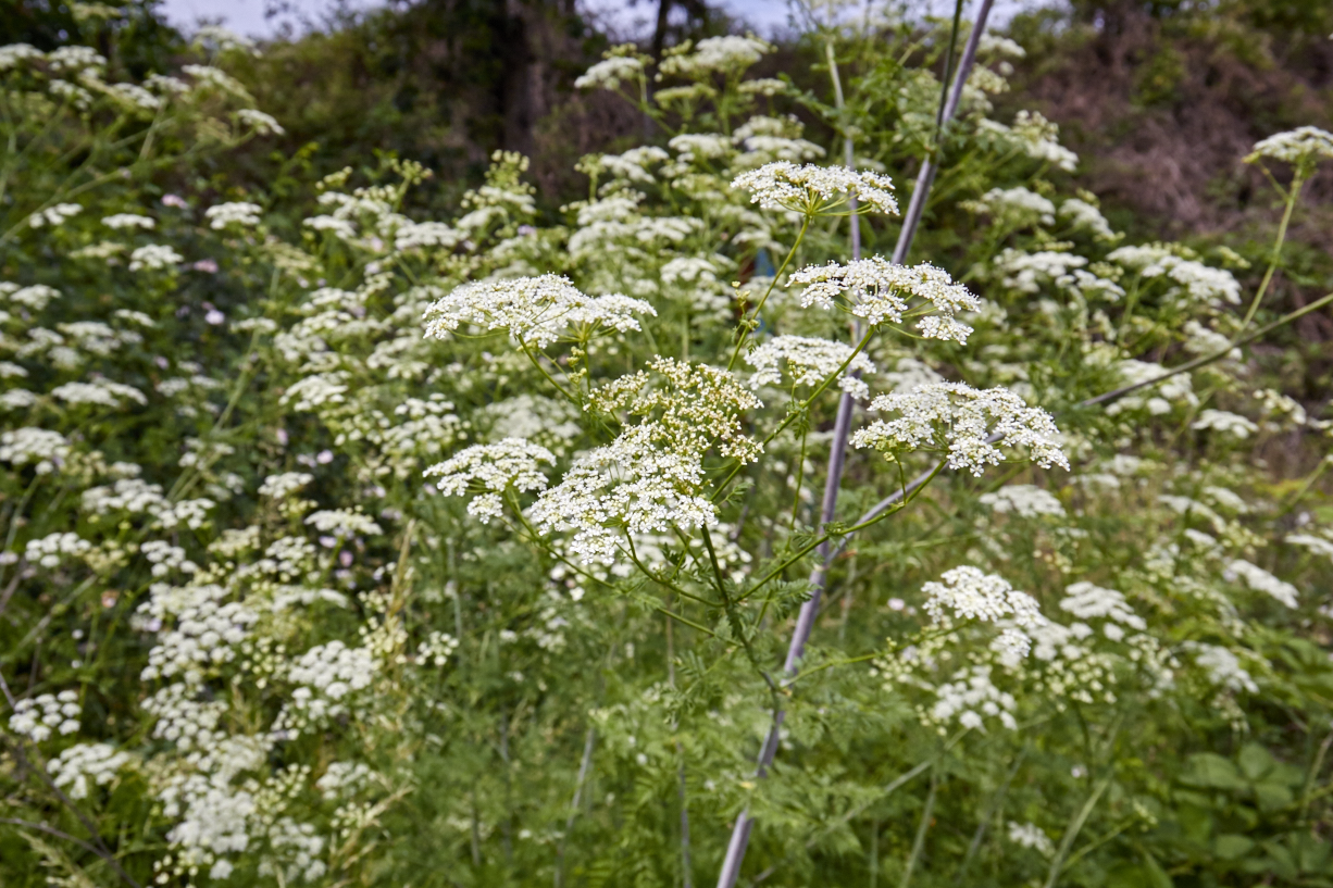 The lacy foliage and white, small-flowered umbels of purple-stalked poison hemlock look similar to other members of the parsley family.  © Scott Kloos. 2015. All Rights Reserved.