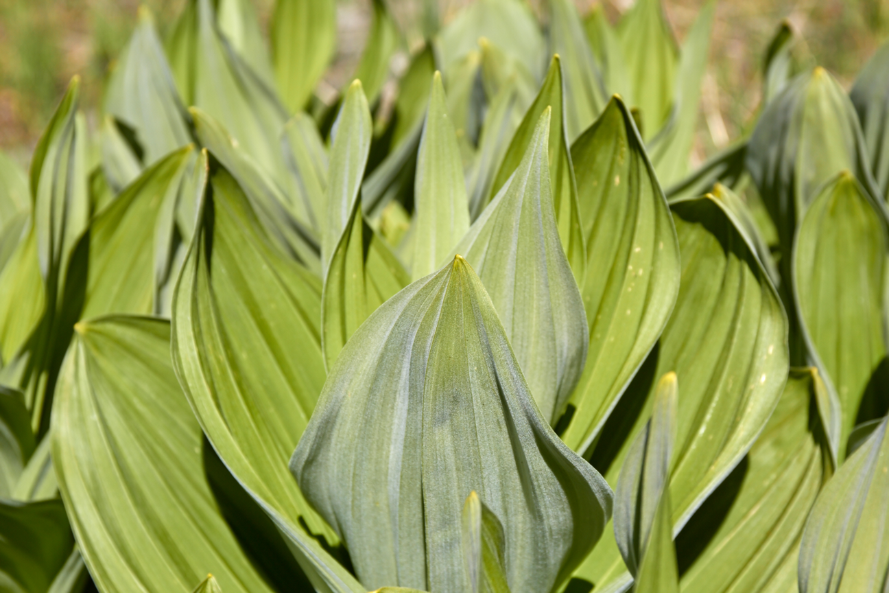 Within these beautiful  false hellebore  leaves lies a deadly toxin. © Scott Kloos. 2015. All Rights Reserved.