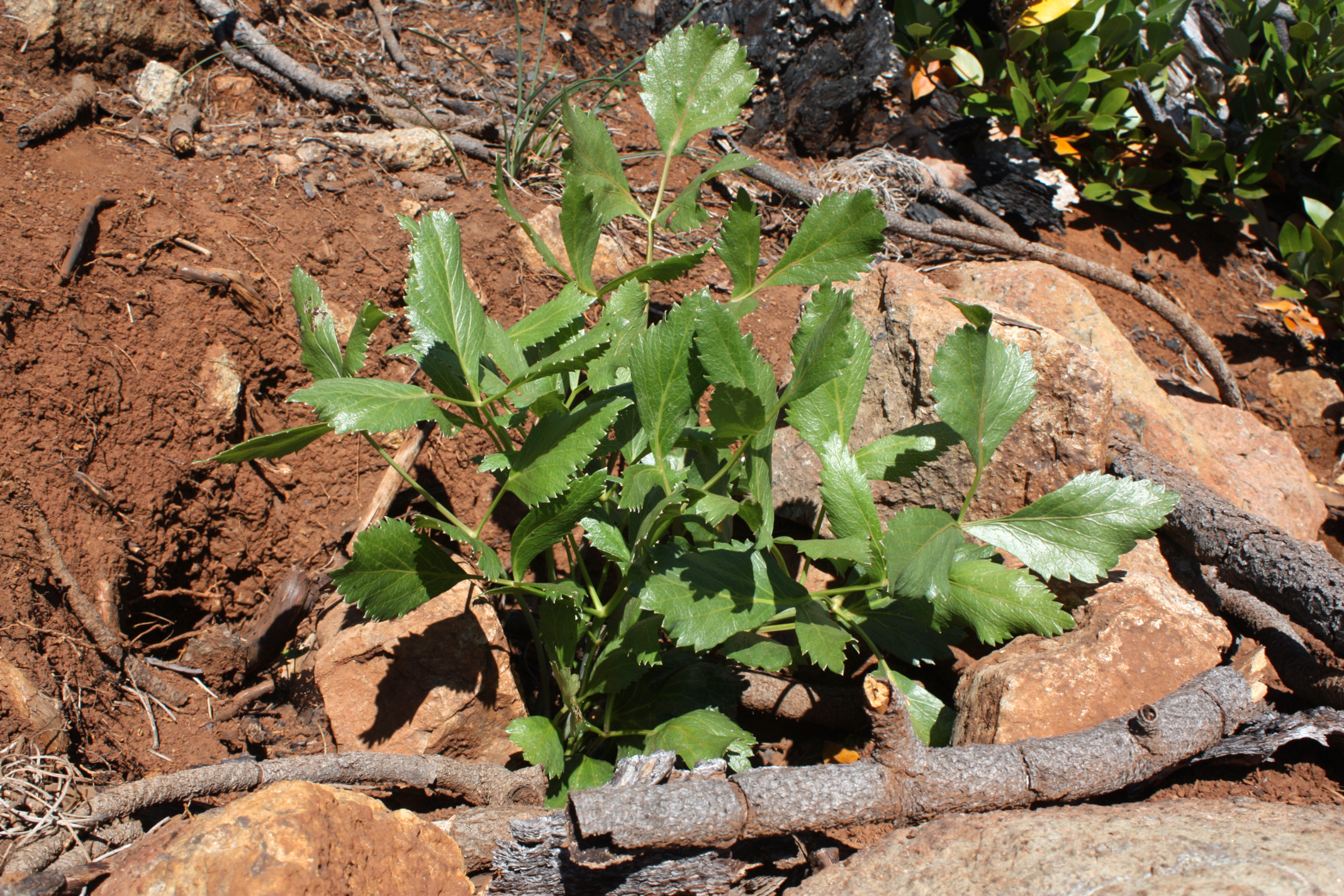 After its root was harvested the previous year, the replanted crown of this sharptooth angelica is sprouting new leaves.© Scott Kloos. 2015. All Rights Reserved.