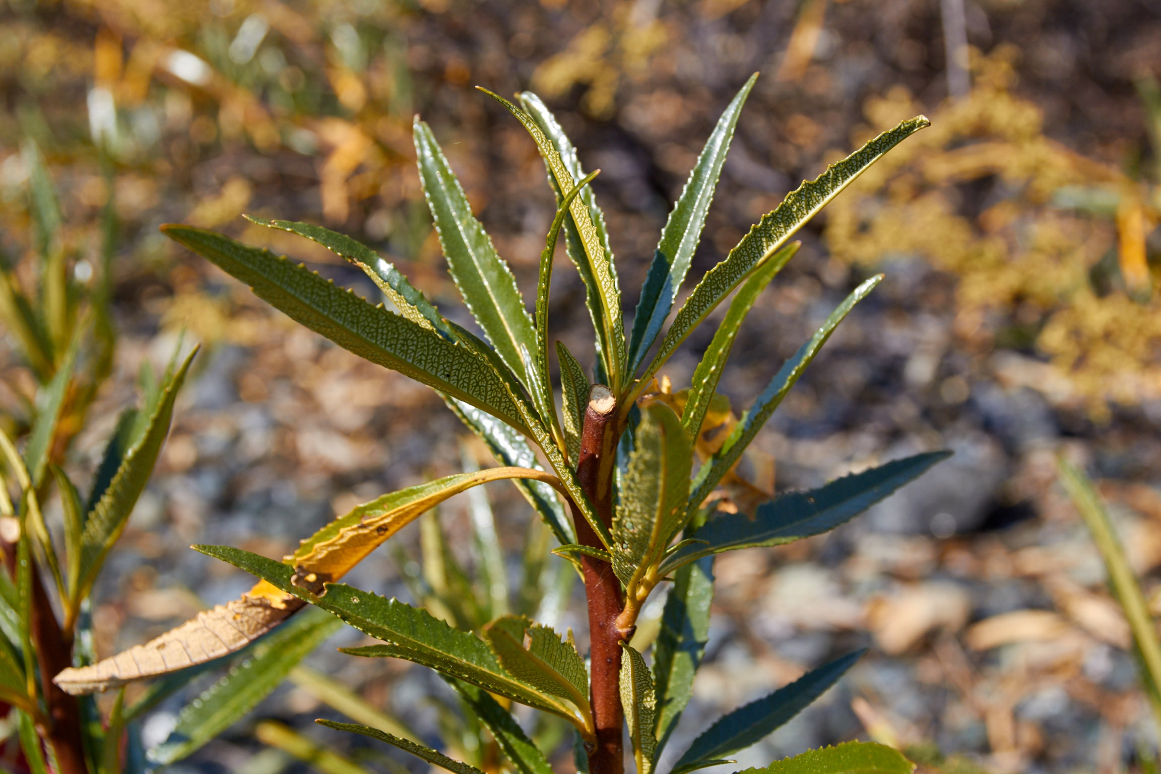 Cut the twig ends to an outward-facing bud to stimulate bushier growth. Note the distinct patterning on the undersides of the leaves.© Scott Kloos. 2015. All Rights Reserved.