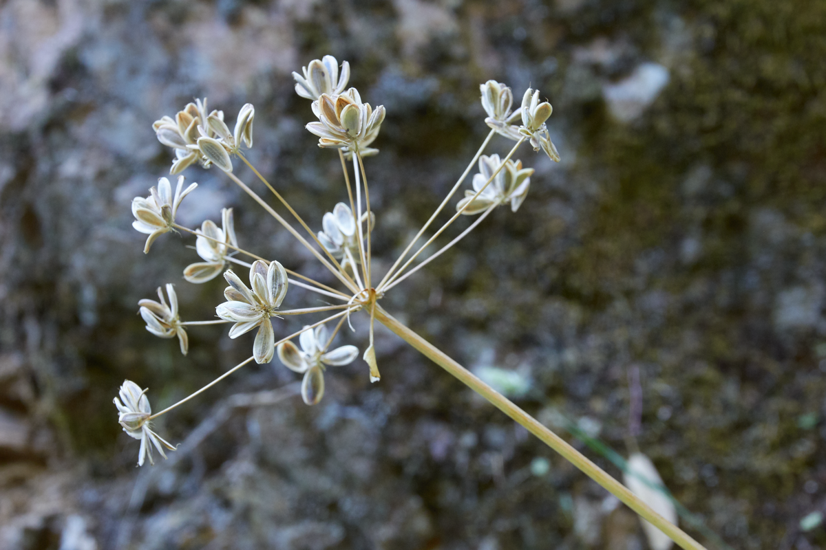 The lighter colored winged edges of these mature desert parsley seeds are characteristic of the genus  Lomatium .
