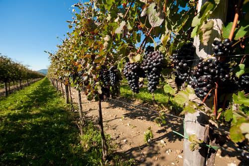 fruitful vineyard shutterstock_69443101