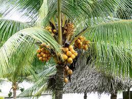 fruitful plam tree