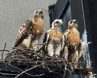 mam finches launching her babies