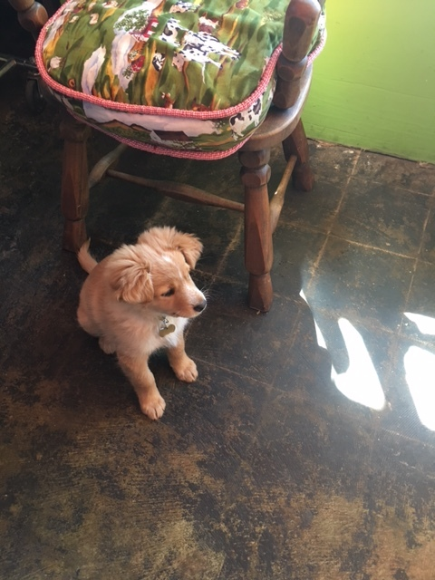 In Ojai, thrift shops come complete with puppies called Cricket!