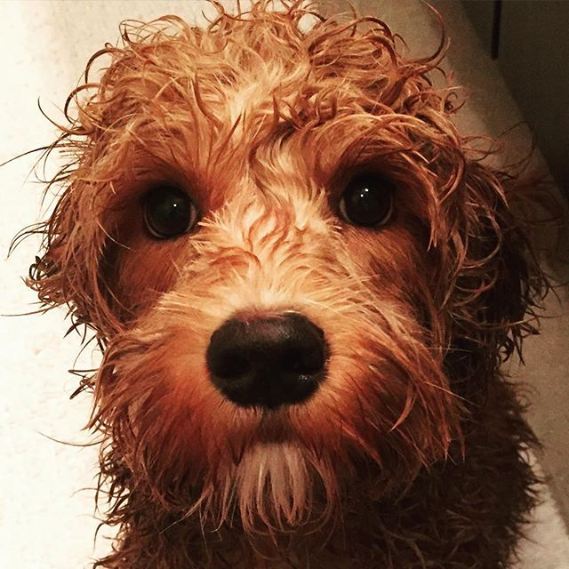 What was that for?! I thought #stinky was the new #cute 🐶💦🐶💦🐶💦🐶💦 #wetdogs #pupylove #sofreshandsocleanclean #dogsofinstagram #dogsofdenver #labradoodle #aussiedoodle