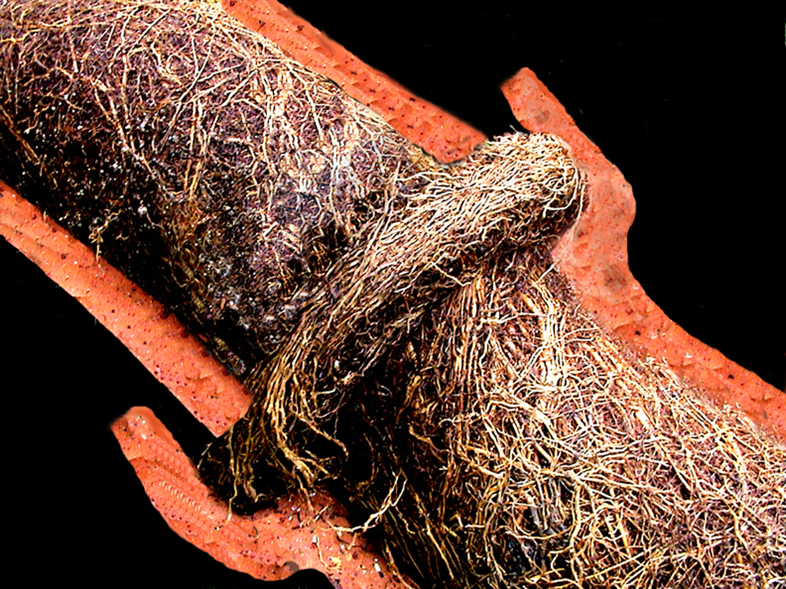 Tree roots commonly infiltrate clay sewer lines at joints