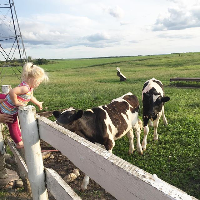Just a liiiitttle closer, Mr. Steer, so I can pet you.  #saskatchewan #saskblogger #canadianblogger #discoverunder1k #agmorethanever #farmher #farm365