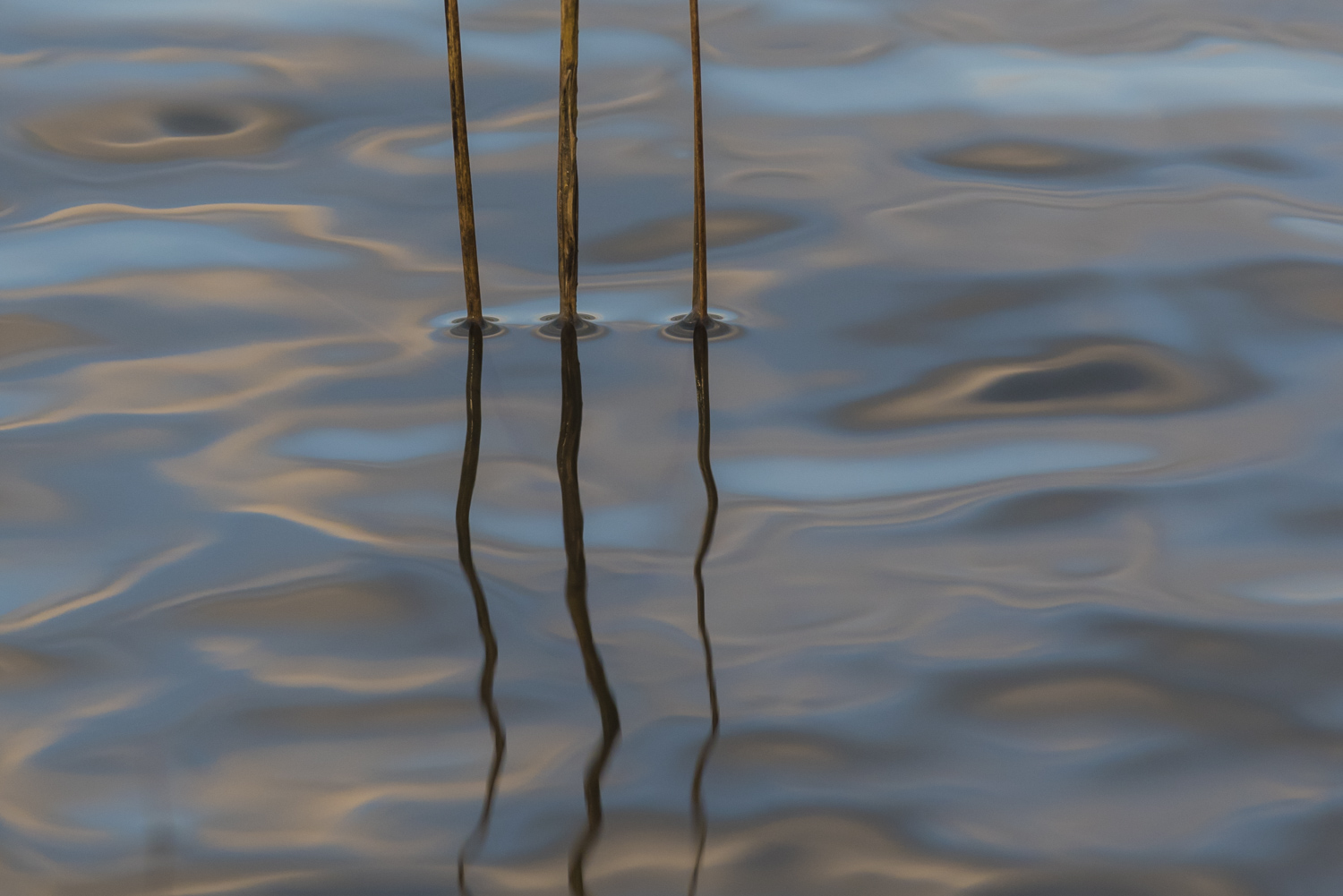 Three stalks of Spartina grass reflecting with the early morning clouds. A   horizontal perspective.   M1215-3-3125