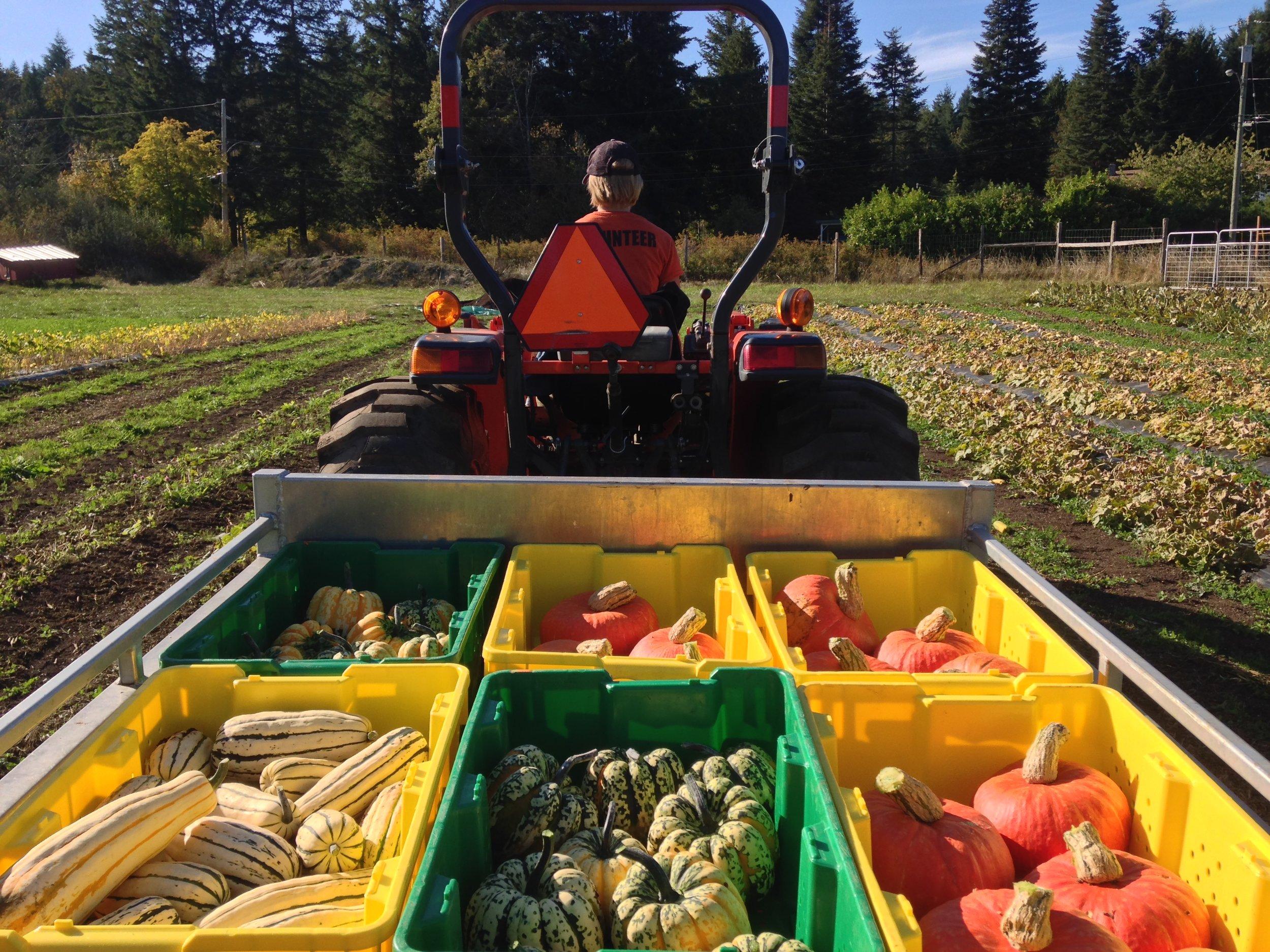 Squash harvest