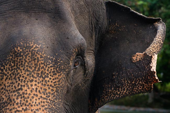 Sumatran elephant (one of the world's smallest elephant species). Image by Gita Defoe for Photographers Without Borders.