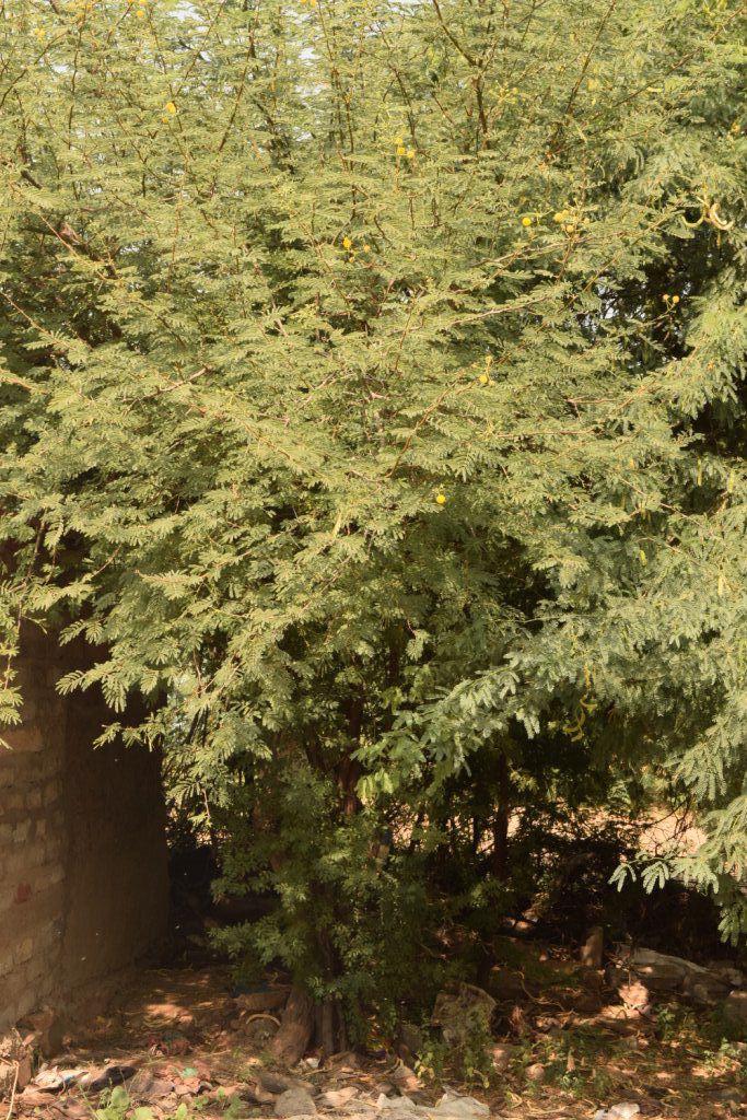 Desi Baval Tree.JPG