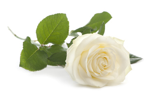 rose_head_v3.jpg