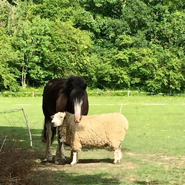 Alfie the Pony and boy boy the Ram best of friends 🐴🐏