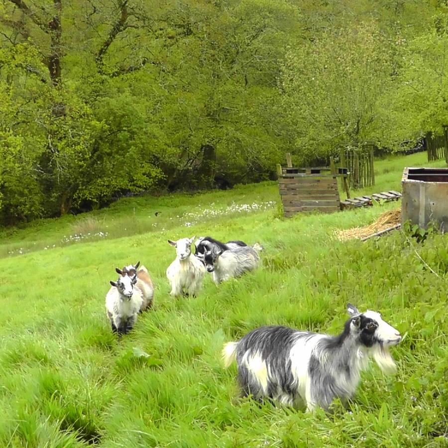goat family, hogchester