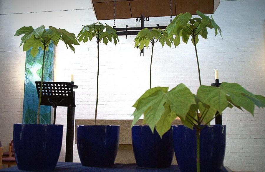 Peace tree saplings