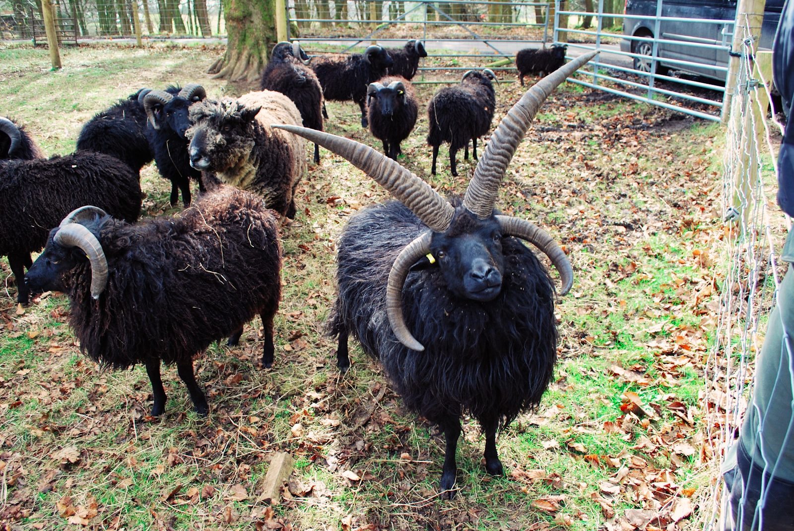 """Mr. Spock"" the Hebridean sheep, Slipperfield Crofts, Photo: Gillian MacDonald"