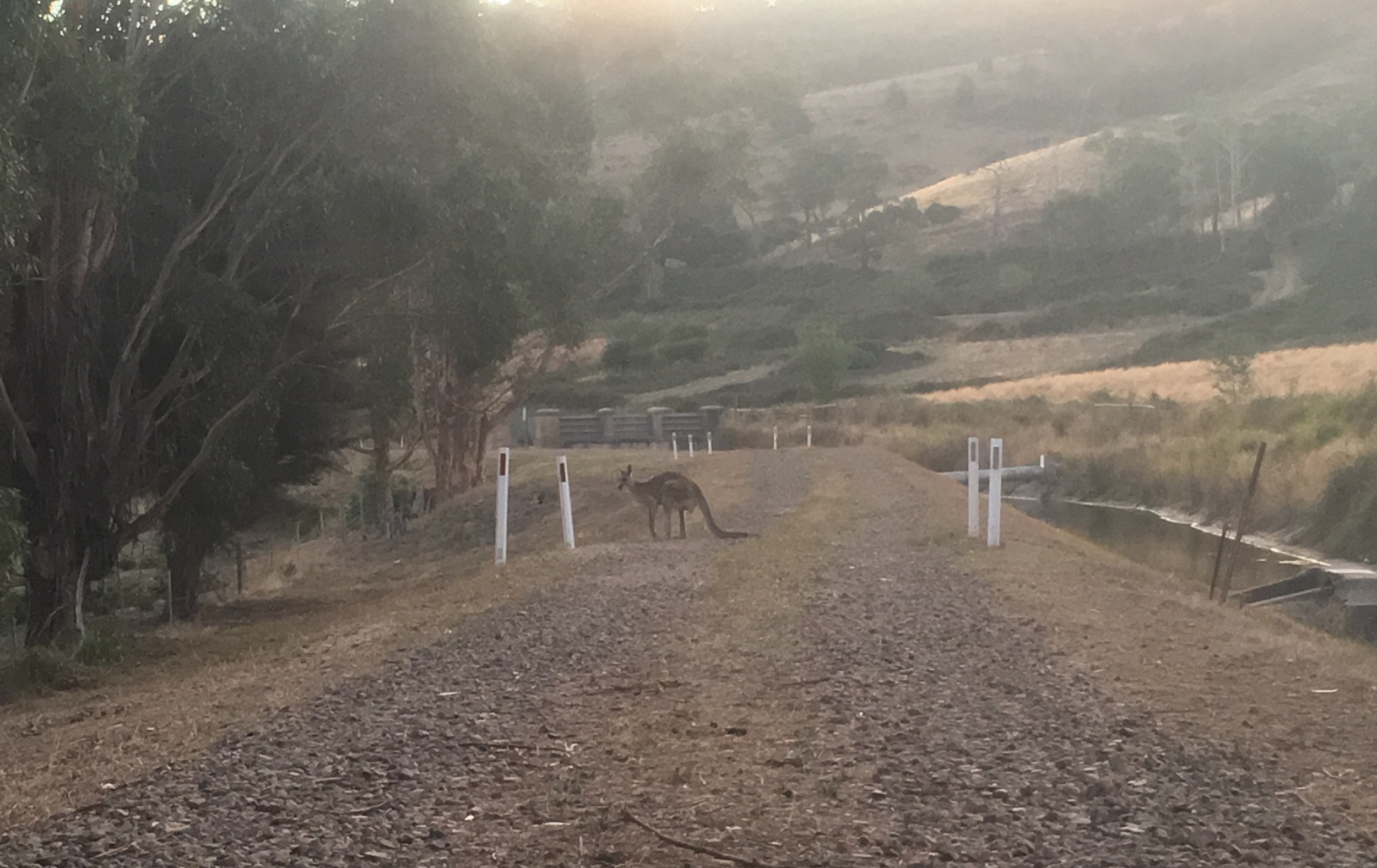 Why did the kangaroo cross the road?