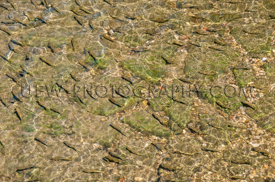 Group fish swimming in clear water look from above Stock Image