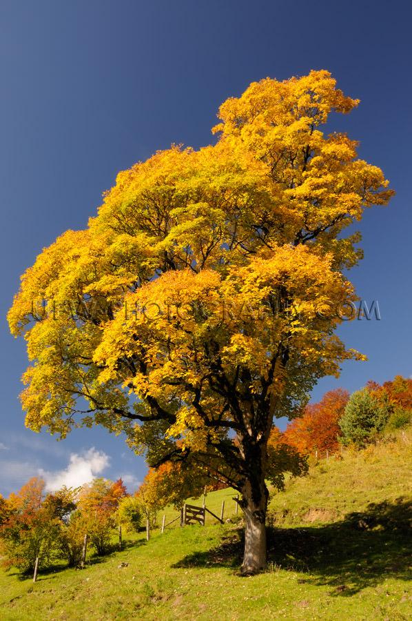 Beautiful lone mountain tree alpine vibrant autumn colors Stock