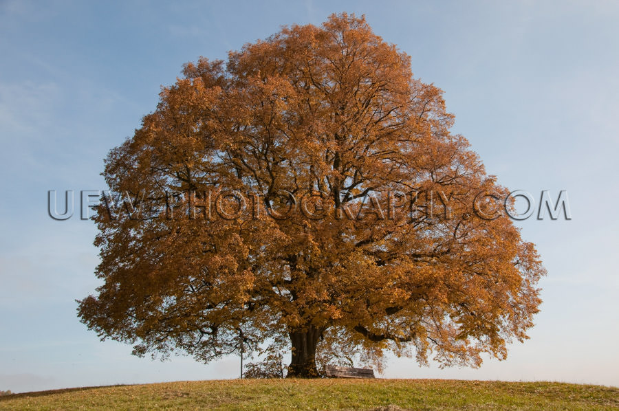 Beautiful old lone linden tree standing hill autumn colors Stock