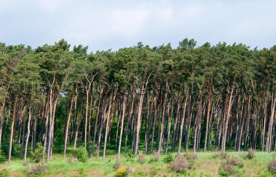 Forest's edge pine grove sky grass bushes wind-blown trees Sto