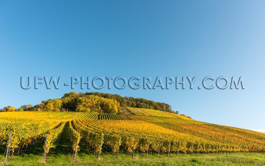Idyllic autumn vineyard hill rows grapevines deep blue sky Stock