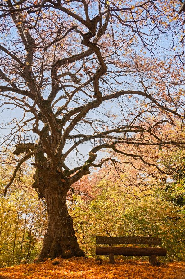 Idyllic golden autumn scene gnarled tree bench colorful foliage