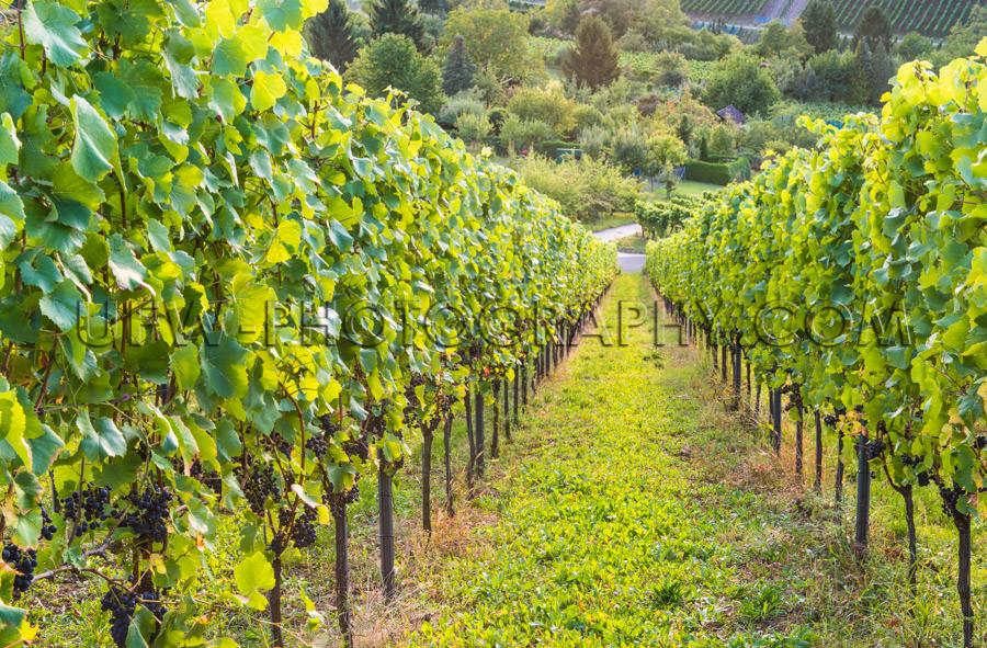 Vineyard downhill view grapevine rows ripe blue grapes Stock Ima