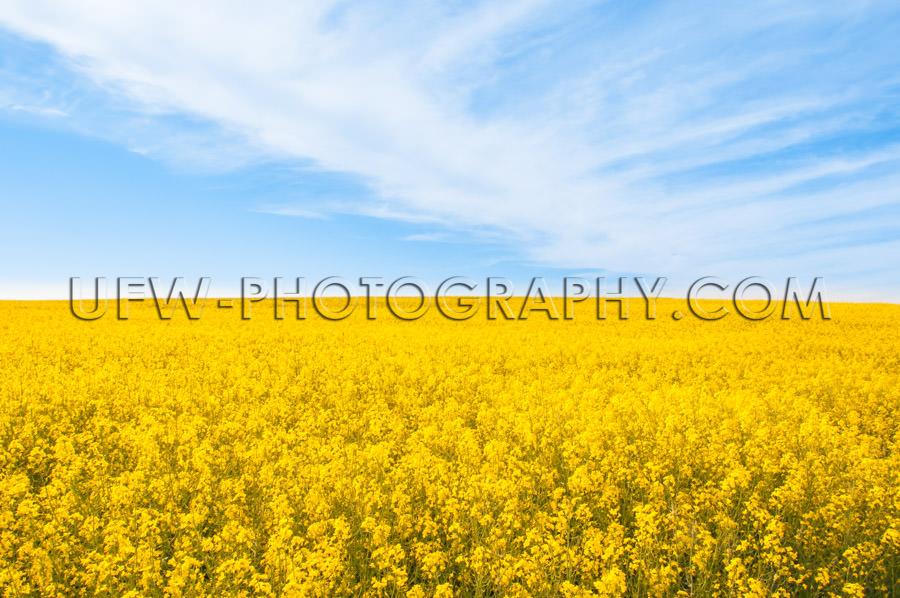 Vivid spring summer scene bright yellow canola landscape Stock I