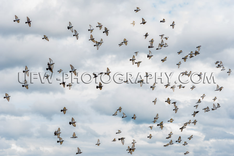 Flock pigeons doves flying gray cloudy sky airborne migration XX