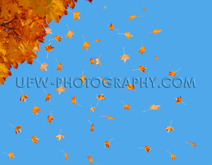 Autumn leaves many falling colorful flying tree blue sky Stock I