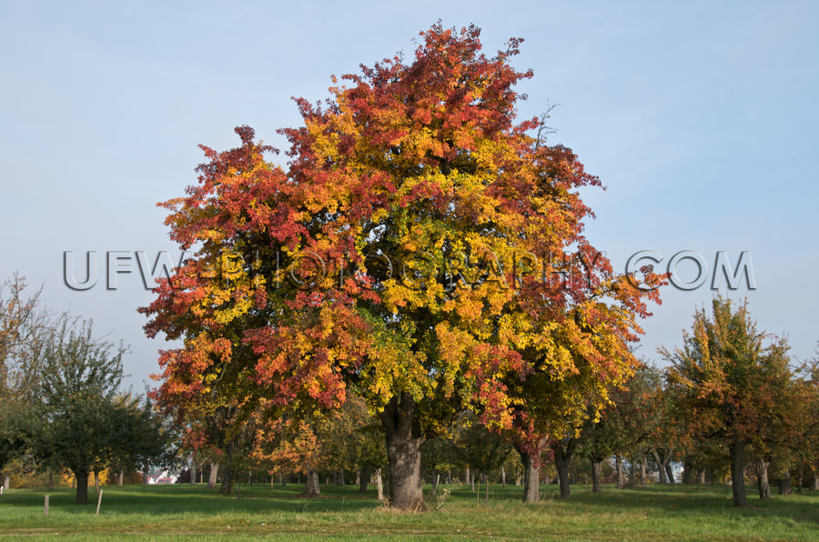 Large pear tree awesome autumn colors orchard orange yellow Stoc