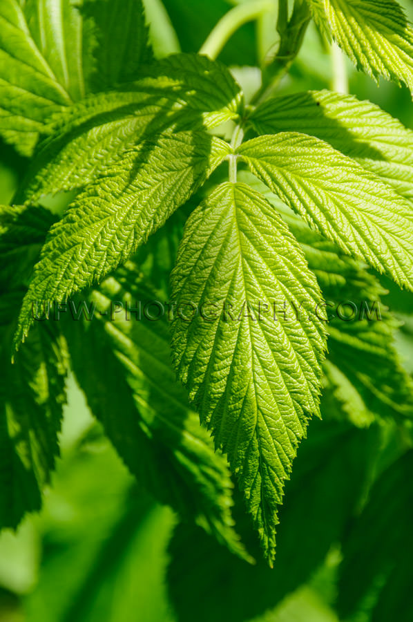 Macro of lush green leaves on a bush, selective focus - Stock Im