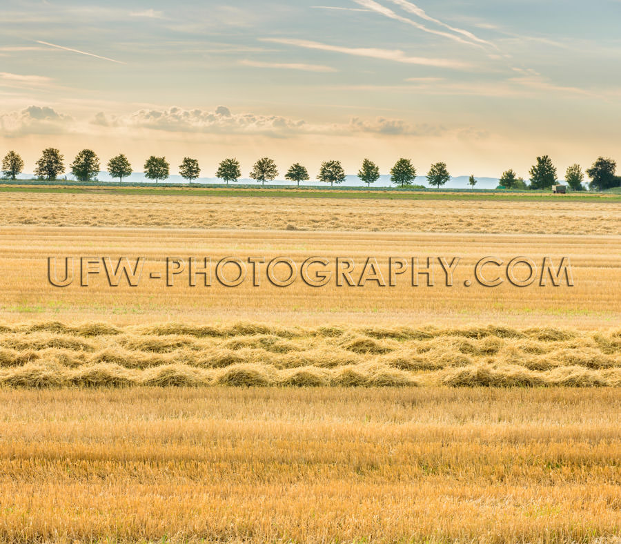 Picturesque harvested field hay stubble trees golden light Stock