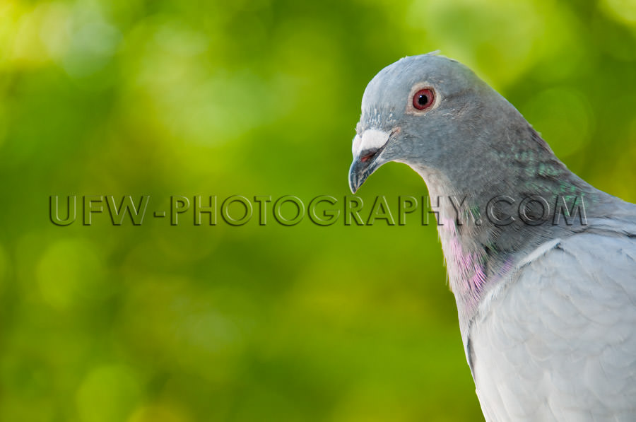 Portrait of a racing pigeon, blurred green background - Stock Im