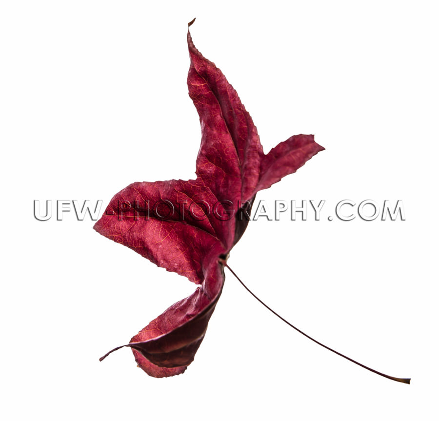 Autumn leaf single flying deep red isolated white Stock Image