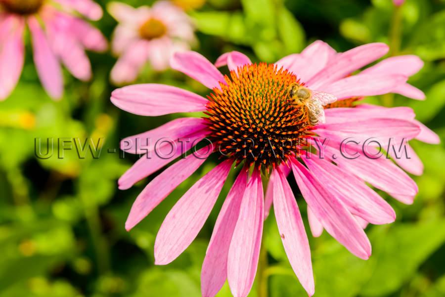 Beautiful flower head blossom echinacea coneflower honeybee clos