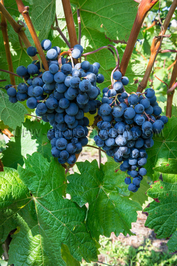 Blue grapes grapevine two ripe juicy clusters close-up Stock Ima