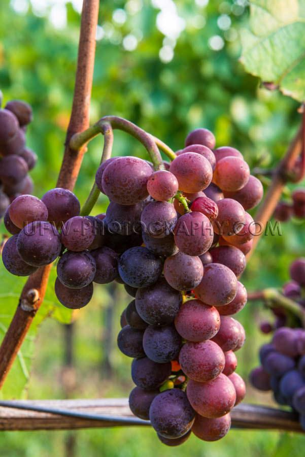 Cluster of grapes ripe red blue vine leaf grapevine vineyard Sto