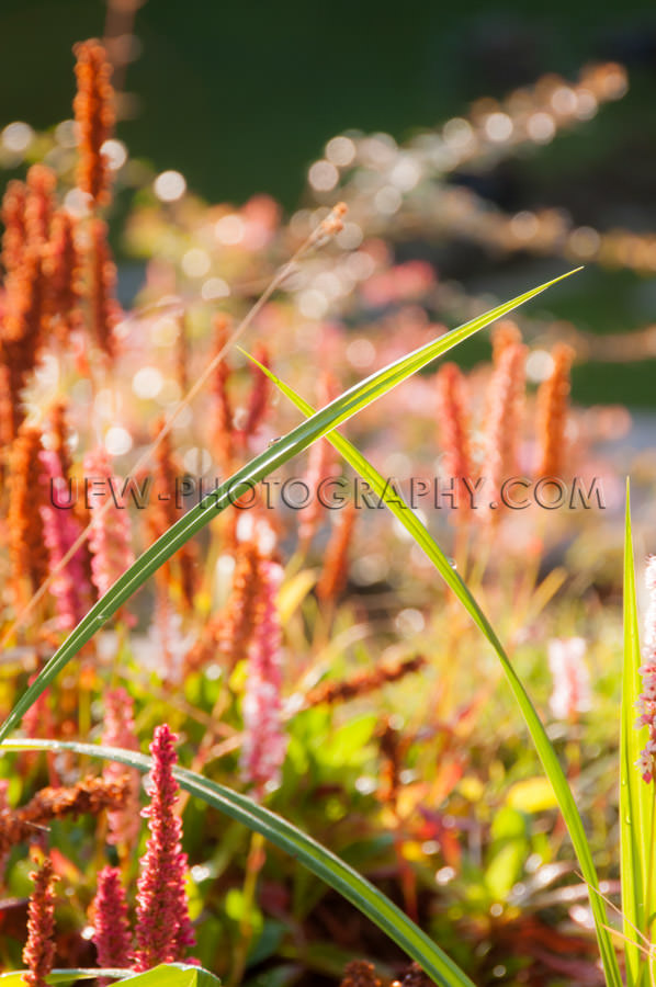 Fall garden macro beautiful crossed grass blades red blossoms kn