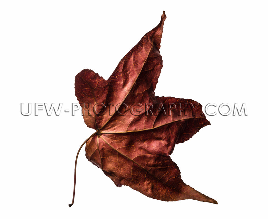 Flying autumn leaf textured isolated white red brown maroon Stoc