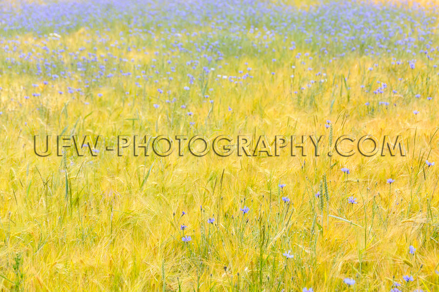 Golden cornfield blue cornflowers picturesque gentle beauty Stoc