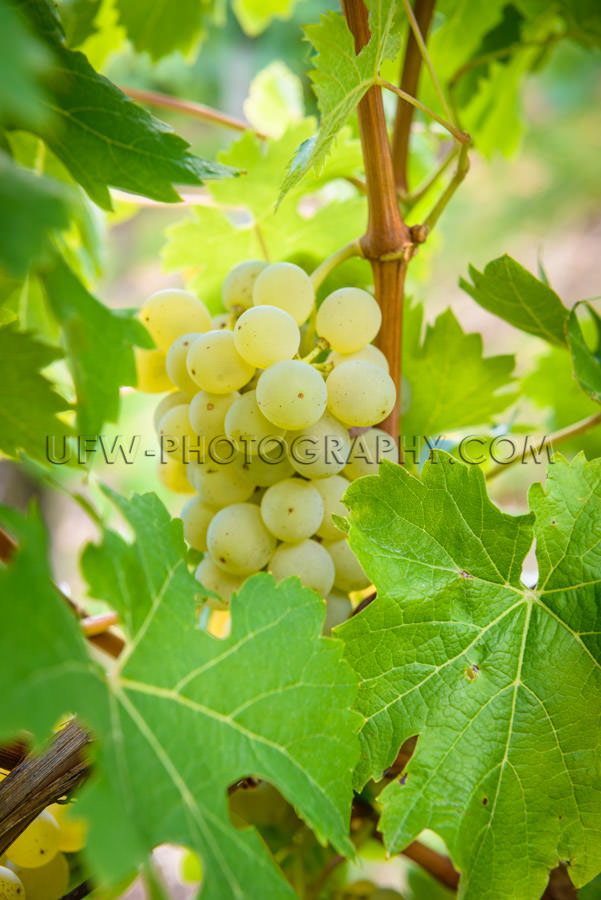 Ripe green grapes at grapevine leaf white wine close-up Stock Im