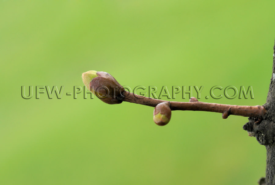 Spring bud, macro image, green blurred background, copy space -
