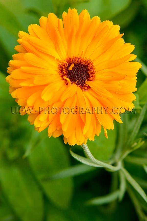 Vivid orange gerbera flower green leaves full frame close-up Sto