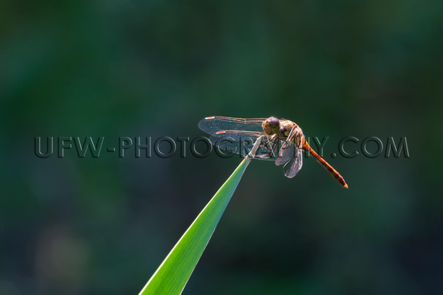 Beautiful dragonfly insect sitting leaf wing blur background Sto