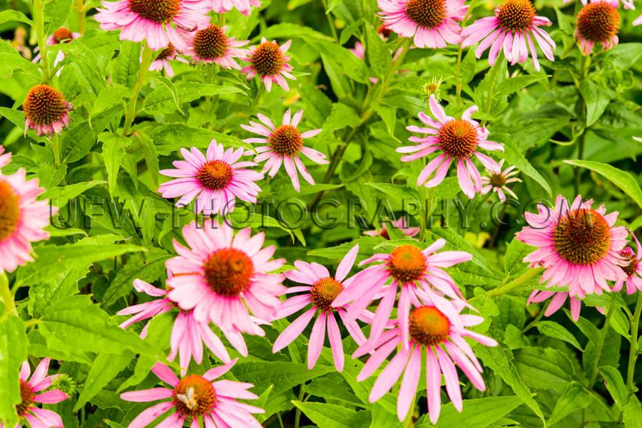 Beautiful Flower Bed Blossom Echinacea Coneflower Honeybee Close